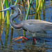 Tricolored heron breeding plummage