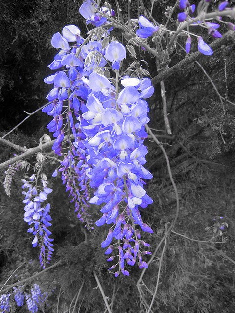 Header of American Wisteria
