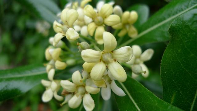 Pittosporum tobira flowers