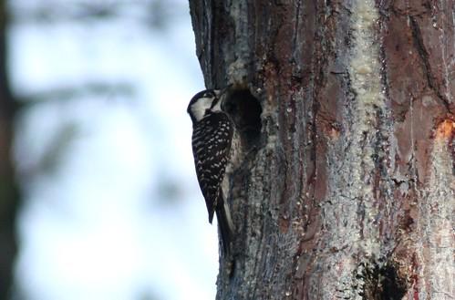 birds texas woodpeckers redcockadedwoodpecker picoidesborealis jonesstateforest