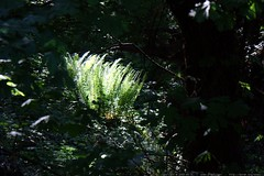 afternoon sunlight on the ferns in our backyard    M…