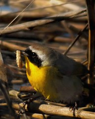 Yellowthroat with a worm