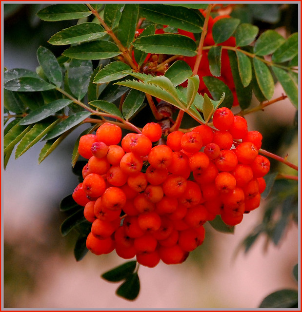 Tree With Orange Berries In Fall