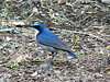 Siberian Blue Robin - Ko-ruri by David in Chippenham