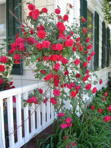 Trellis climbing roses during the first week of may this flickr photo sharing - Climbing rose trellis ...