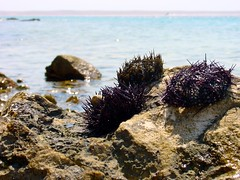 sea urchin, sea, marine biology, invertebrate, marine invertebrates, shore, rock, wildlife,