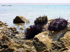 coral(0.0), seaweed(0.0), echinoderm(0.0), sand(0.0), tide pool(0.0), fauna(0.0), sea urchin(1.0), sea(1.0), marine biology(1.0), invertebrate(1.0), marine invertebrates(1.0), shore(1.0), rock(1.0), wildlife(1.0),