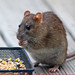Norway Rat - Photo (c) Mark Philpott, some rights reserved (CC BY-NC)