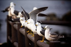 Gulls on the Fence