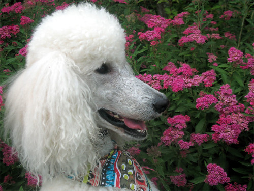 Standard Poodle In The Pink  (23/52)