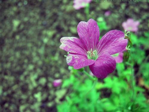GERANIUM endressii 'Rose'