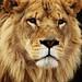 Lion of Judah by 001FJ
