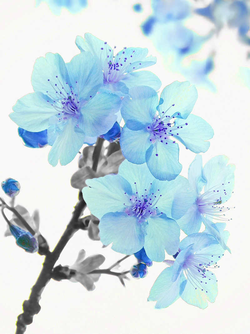 Blue cherry blossoms | Flickr - Photo Sharing!