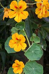 four o'clock flower(0.0), annual plant(1.0), flower(1.0), yellow(1.0), plant(1.0), wildflower(1.0), flora(1.0), four o'clocks(1.0),