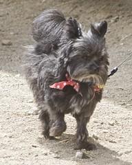 dog breed, animal, dog, pet, standard schnauzer, vulnerable native breeds, schnauzer, morkie, cairn terrier, miniature schnauzer, carnivoran, scottish terrier, terrier,