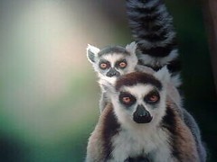 animal, primate, fauna, lemur,