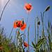 Poppy 3 by HeyJules8