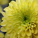 Chrysanthemum by Lord V