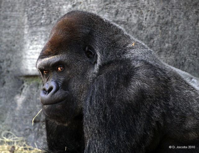 Angry Gorilla | Flickr - Photo Sharing! - photo#21
