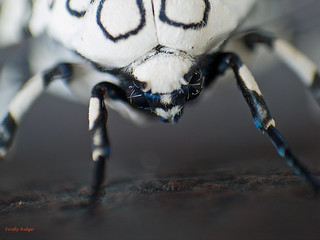 Spotted Moth's face