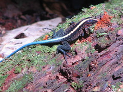 smooth newt(0.0), lissotriton(0.0), lacerta(0.0), animal(1.0), newt(1.0), salamander(1.0), reptile(1.0), lizard(1.0), fauna(1.0), lacertidae(1.0), scaled reptile(1.0), wildlife(1.0),
