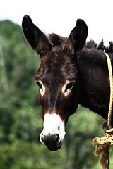 mare(0.0), colt(0.0), halter(0.0), foal(0.0), mustang horse(0.0), pasture(0.0), animal(1.0), mane(1.0), donkey(1.0), stallion(1.0), pack animal(1.0), horse(1.0), fauna(1.0),