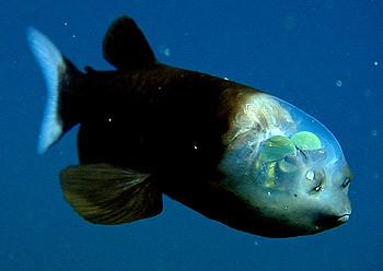 Macropinna, Barreleye Fish