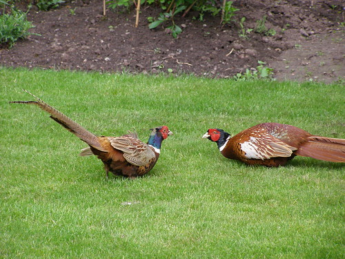Pheasants in the garden