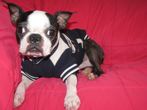 Spanky the Boston Terrier!