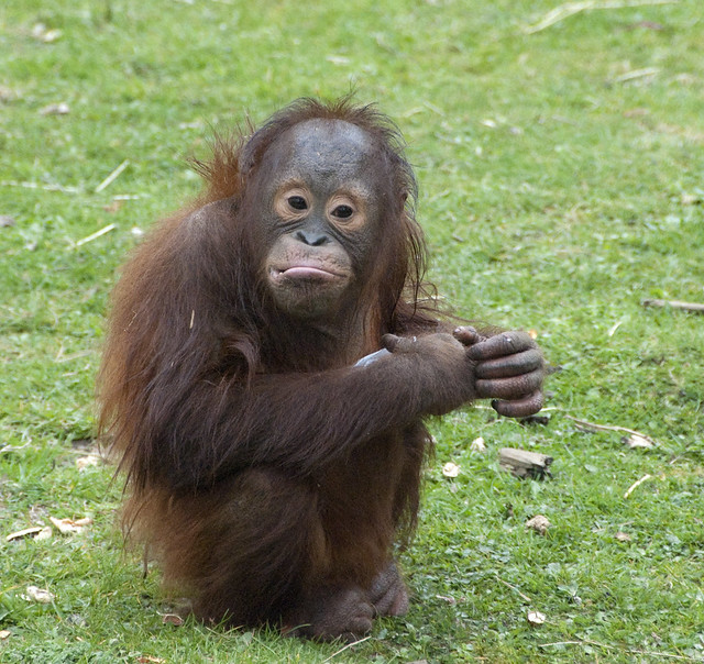 Bornean orangutans baby - photo#6