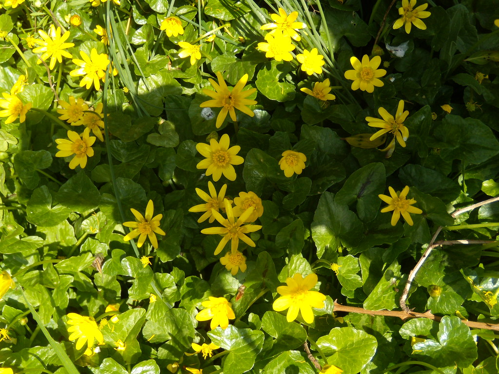 Celandine Staplehurst to Headcorn