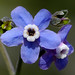 Borage Family - Photo (c) James Gaither, some rights reserved (CC BY-NC-ND)