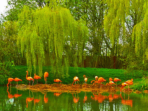 Flamingos at Whipsnade