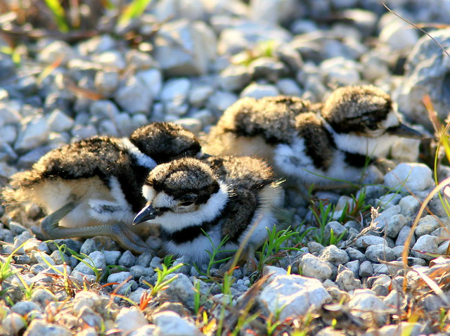 Three Kildeer Chicks 20090416