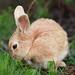 Small photo of Honey Bunny