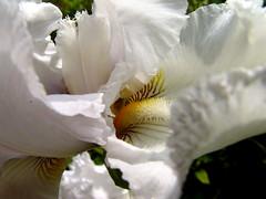 iris, flower, white, macro photography, flora, close-up, petal,