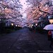 Sakura Night (Hirosaki Japan). © Glenn Waters.   (Explored)  4,600 visits to this photo.  Thank you.