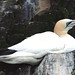 Gannet nesting on the Bass Rock by Jacqui Herrington: