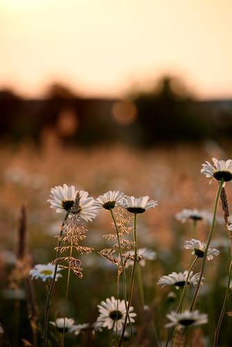 sunset flower dof bokeh depthoffield wildflower gi
