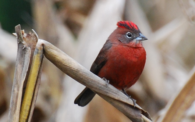 tico-tico-rei (Coryphospingus cucullatus)