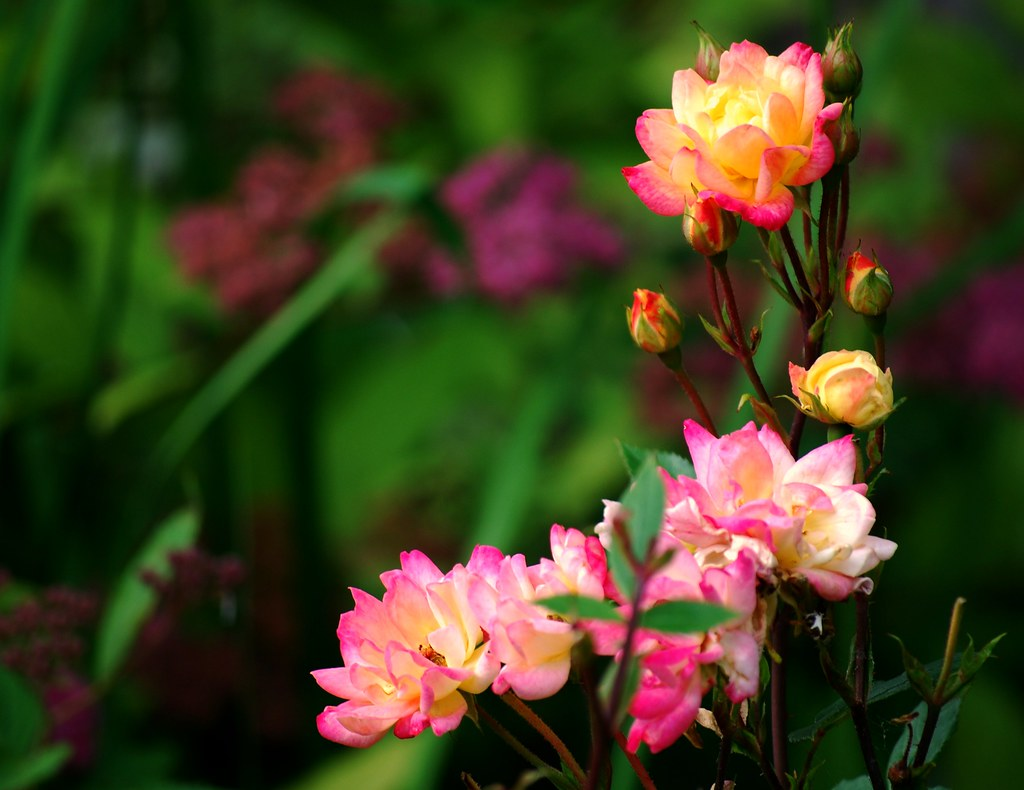 Pink and Yellow Roses by Russell Tomlin