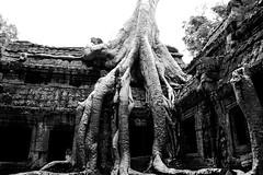 Ta Prohm Roots (view on black)
