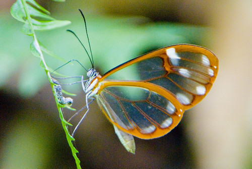 Transparent Butterfly II Panama