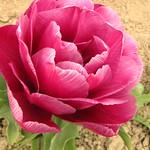 Tulips - Skagit