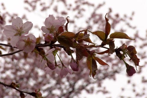 Photo:Sakura. (cherry-blossom) By:MIKI Yoshihito (´・ω・)
