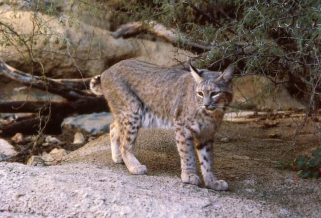 Bobcat at the A...