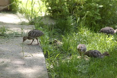 Baby Turkeys