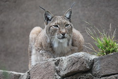 animal, small to medium-sized cats, mammal, lynx, fauna, puma, cat, wild cat, whiskers, bobcat, wildlife,