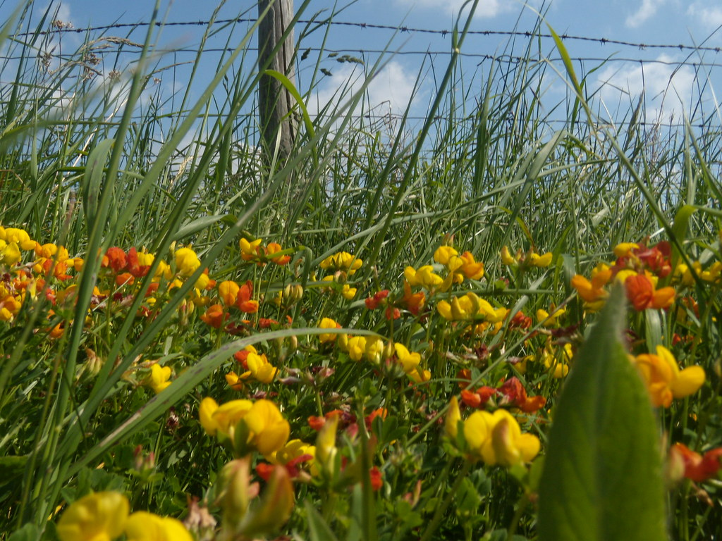 Birds foot trefoil Cholsey to Goring