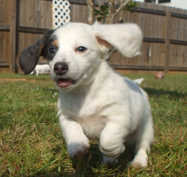 pup#3 extreme piebald long hair dachshund puppy blue & tan almost ...